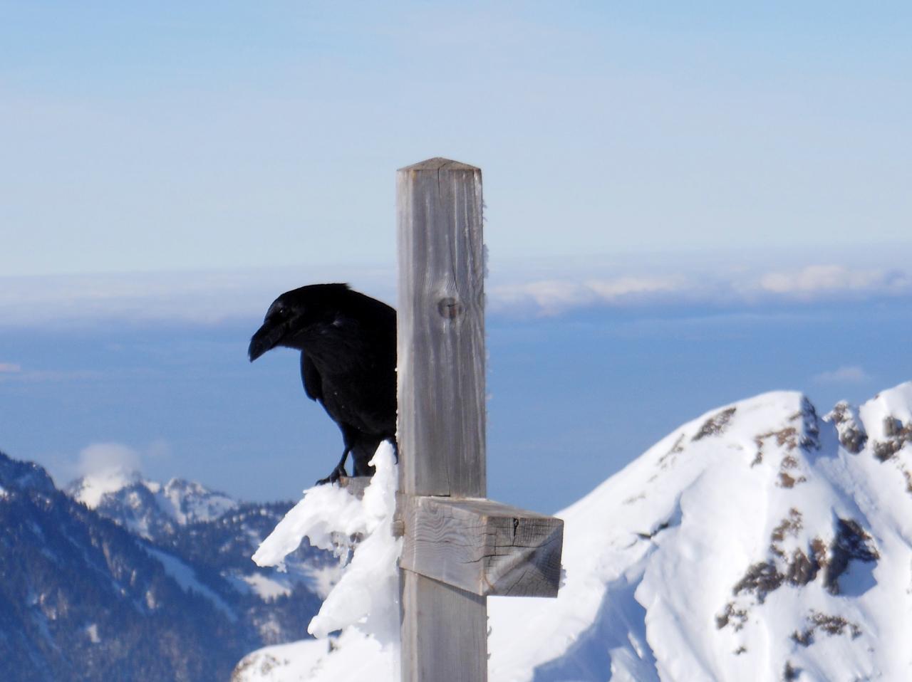 grand corbeau au sommet du roc de tavaneuse, vallée d'Abondance